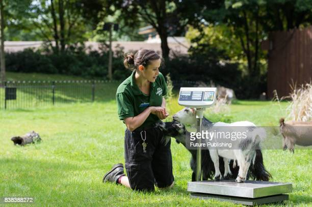 A zookeeper weighs pygmy goats during the annual weighin at ZSL London Zoo on August 24 2017 in London England Every year keepers at the London Zoo...