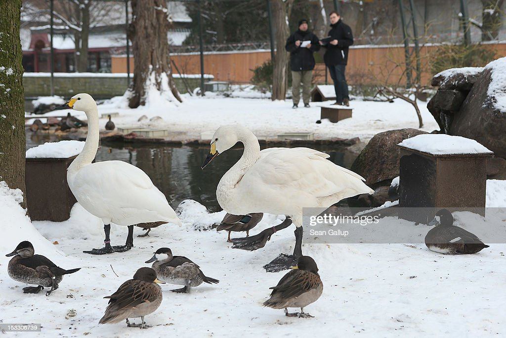 Zookeeper Yancy Rentz (L) and biologist Benjamin Ibler count ducks as dwarf swans meander by in a bird enclosure during the annual animal inventory at Zoo Berlin zoo on December 12, 2012 in Berlin, Germany. The zoo conducts the once-a-year inventory over a period of several months, depending on the species, to assess such factors as the state of animal colonies, the presence of foreign species and the true number of species and their members.