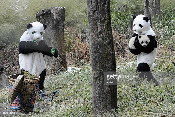 Zookeepers dressed up as giant pandas attempt to put Cao Gen the panda cub into a basket on February 20 2011 in Wolong Sichuan Province of China The...