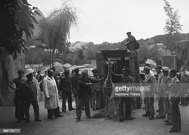 Zookeepers looking at arrival of a young giraffe at the Zoo de Vincennes on Junee 28 1939 in Paris France