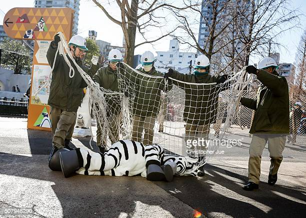 Zookeepers prepare to wrap a net over a zoo staff member dressed as a zebra at Ueno Zoo during a emergency drill on February 2 2016 in Tokyo Japan In...