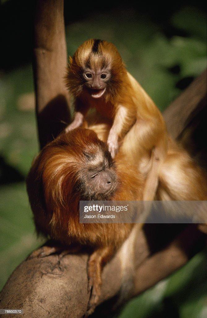 Zoological Board of Victoria, Victoria, Australia. : Stock Photo