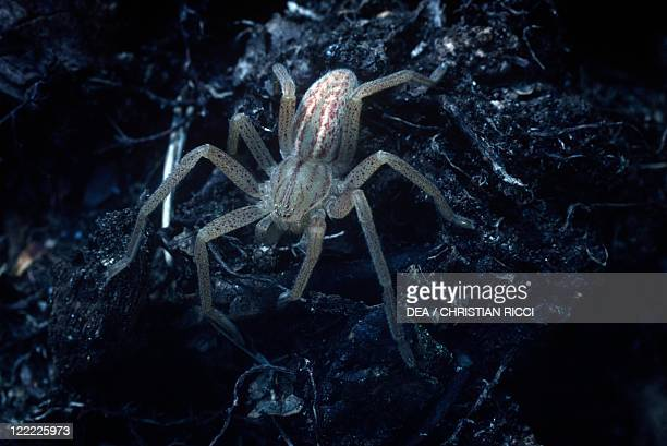 Zoology Arachnids Spider Green Huntsman Spider This specimen has just accomplished its moult The body colouring is soft yet but within a short time...