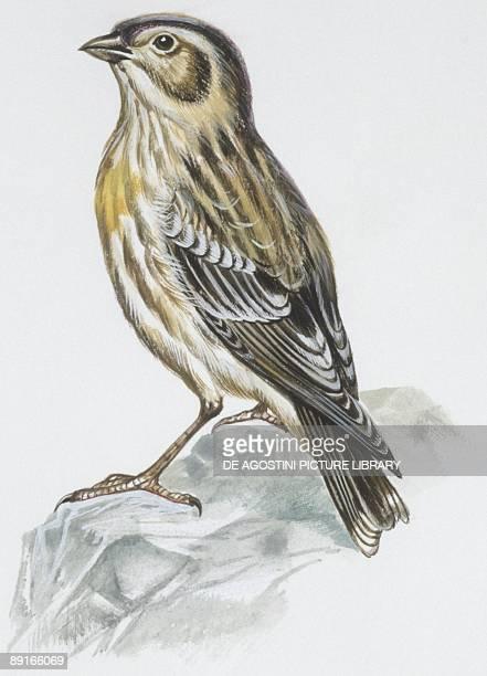 Zoology Birds Eurasian Stonecurlew illustration