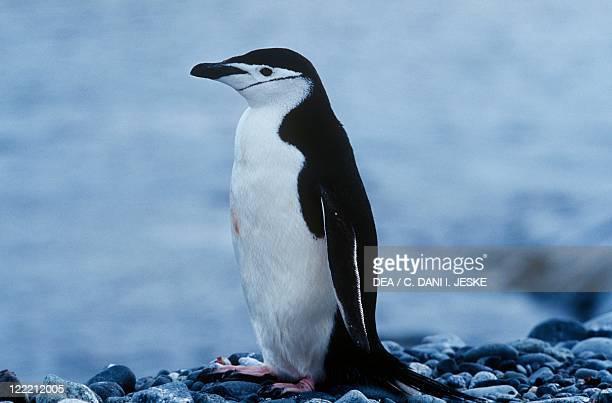 Zoology Birds Sphenisciformes Chinstrap penguin Antarctica Half Moon Island