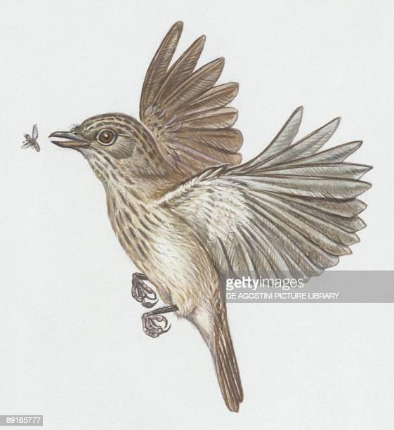 Zoology Birds Spotted Flycatcher illustration