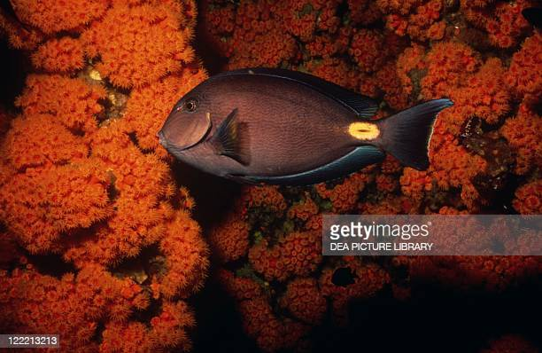 Zoology Fishes Perciformes Sohal surgeonfish or tang
