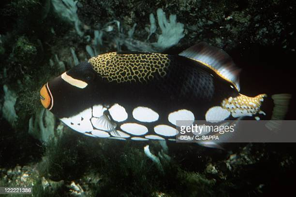 Zoology Fishes Tetraodontiformes Clown triggerfish
