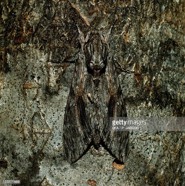 Zoology Insects Lepidopters Butterfly Convolvulus hawkmoth