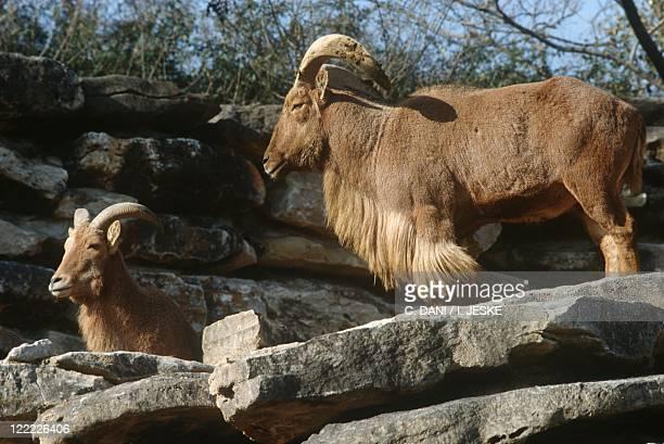 Zoology Mammals Artiodactyls Bovids Barbary sheep