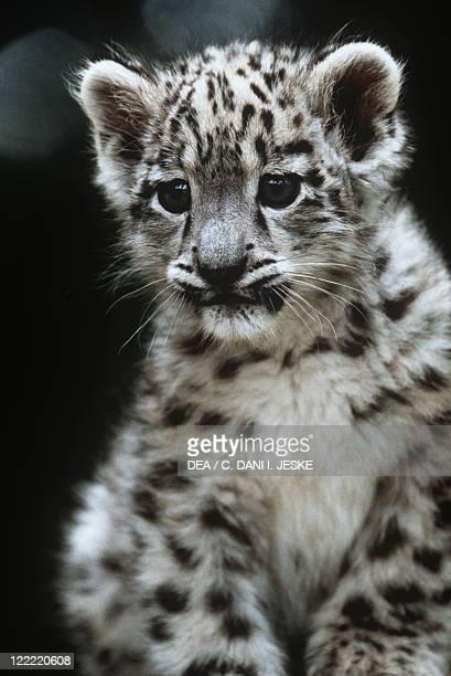 Zoology Mammals Felids Snow leopard Cub