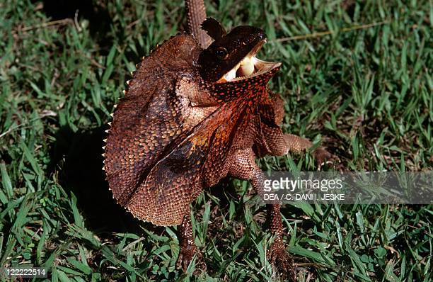 Zoology Reptiles Frilled lizard or dragon