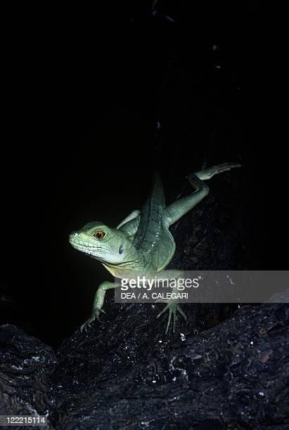 Zoology Reptiles Scaled reptiles Plumed basilisk