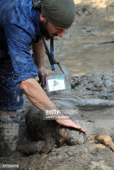 A Zoo's employee touches a dead animal at a flooded zoo in the Georgian capital Tbilisi on June 15 2015 Lions tigers and even a hippopotamus escaped...