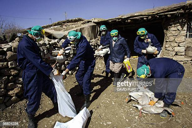 Iraqi government health officials place a flock of geese in a nylon sacks in an effort to help prevent the continuing spread of the H5N1 virus or...