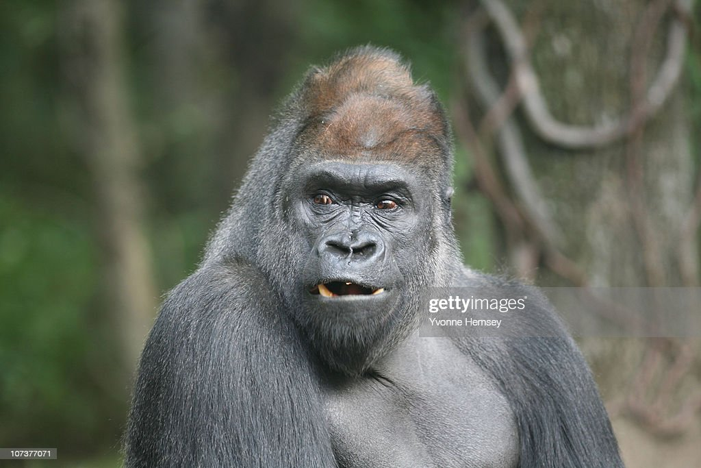 Zuri, a 26 year old silverback gorilla, heads one of the troupes at the Bronx Zoo's Congo Gorilla Forest Exhibit October 24, 2010 in the Bronx borough of New York City.