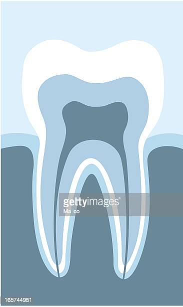 acurately tooth cross section