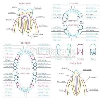 Adult And Baby Tooth Dental Anatomy Vector Infographics Vector Art