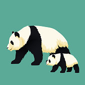 Adult giant panda and baby panda walking together. Chinese bear family. Mother or father and child. Rare, vulnerable species.