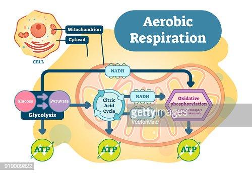 有酸素呼吸生物解剖学的ベクトル...