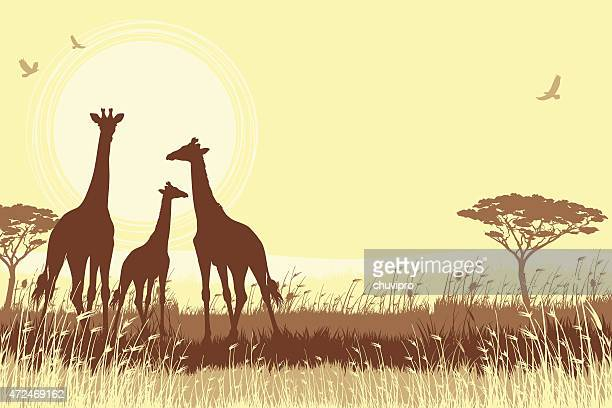 African Giraffes in savanna