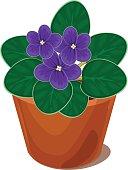 african violet flower in pot