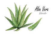 aloe vera.Hand drawn watercolor painting on white background.Vector illustration