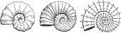 Ammonit, Kopffüßer, Tier, Schale, Schalentier, Fossil, Versteinerung, Spirale, Fraktal, Meer, Stein, Geologie, Archäologie, Paläontologie, Vektor, Illustration, historisch, begraben, Entdeckung, Tieri
