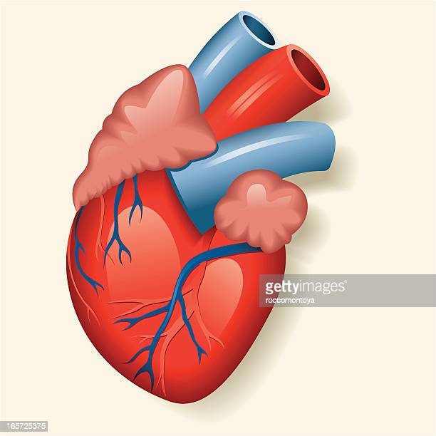 heart valve stock illustrations and cartoons | getty images, Muscles