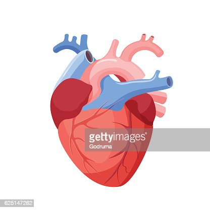 Anatomical Heart Isolated. Muscular Organ in Human : stock vector