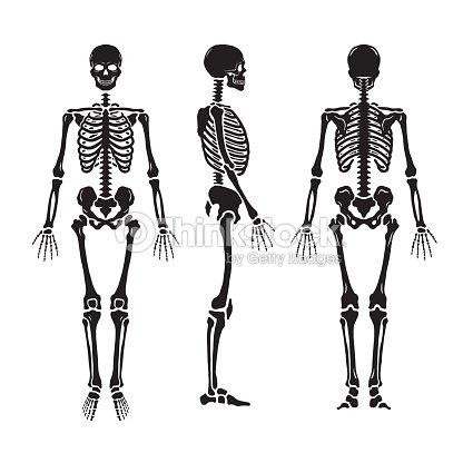 Anatomische Menschliches Skelett In Drei Positionen Vektorgrafik ...