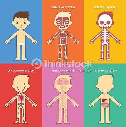 Anatomietabelle Für Kinder Vektorgrafik | Thinkstock