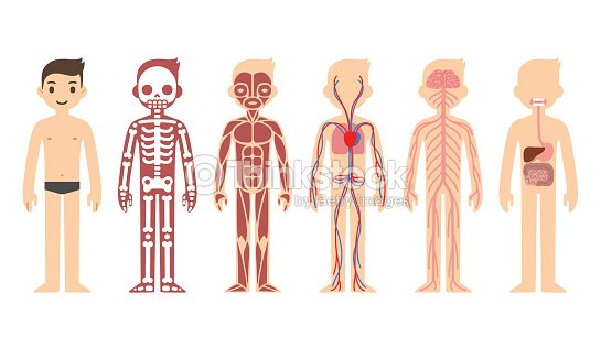 Anatomy diagram vector art thinkstock anatomy diagram male vector art ccuart Images