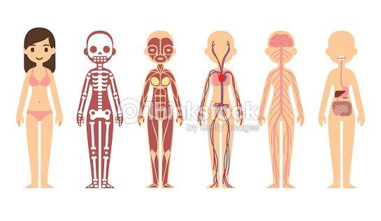 Anatomy diagram vector art thinkstock anatomy diagram female vector art ccuart Image collections