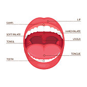vector illustration of a  anatomy human open  mouth. medical diagram