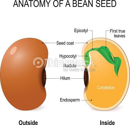 Anatomy Of A Bean Seed Vector Art | Thinkstock