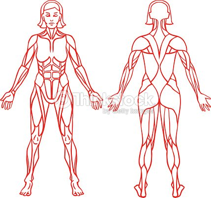 Anatomy Of Female Muscular System Exercise And Muscle Guide Vector ...