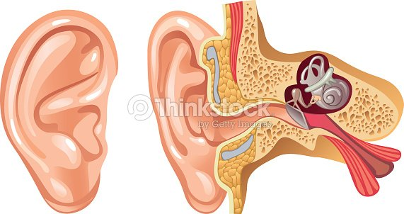 Anatomy Of Human Ear Cross Section Illustration Vector Art Thinkstock