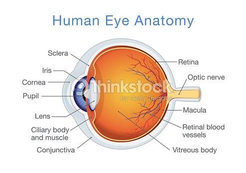 Anatomie Des Menschlichen Auges Und Beschreibungen Vektorgrafik ...