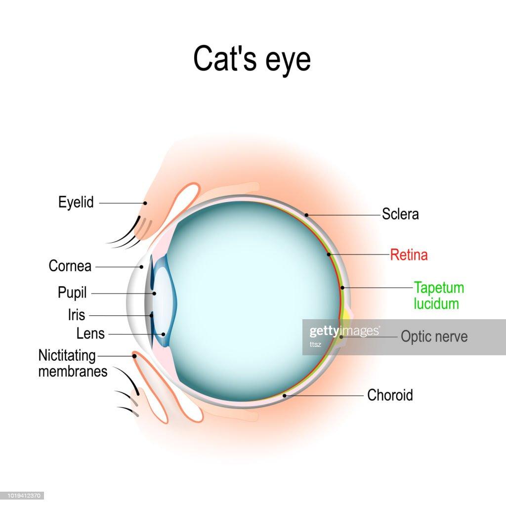 Dog Eye Anatomy Diagram - Schematic Wiring Diagrams •