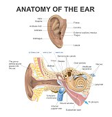 The human ear consists of three parts the outer ear, middle ear and inner ear. The ear canal of the outer ear is separated from the air filled tympanic cavity of the middle ear by the eardrum. The mid