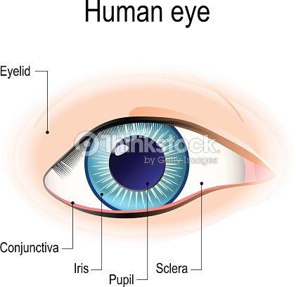 Ver Anatomía Del Ojo Humano En Frente Arte vectorial | Thinkstock