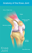 The knee joint joins the thigh with the leg and consists of two articulations: one between the femur and tibia and one between the femur and patella. It is the largest joint in the human body. Illustr