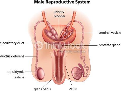 Anatomie Der Männliche Reproduktive System Vektorgrafik | Thinkstock