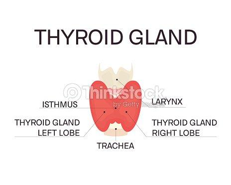 Anatomía De La Glándula Tiroides Arte vectorial | Thinkstock