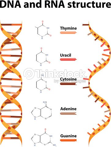 Dna And Rna Structure Vector Art Thinkstock