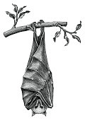 Antique of Bat hand draw vintage engraving style isolated on white background