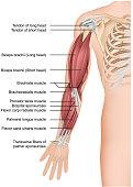 Arm muscle anatomy 3d medical vector illustration forearm eps 10
