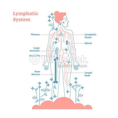 Künstlerische Lymphsystem Anatomische Vektor Illustration Diagramm ...