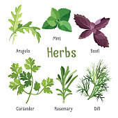 Kitchen aroma herbs and spices collection in cartoon style. Vector illustration of branches and leaves of arugula, fresh mint, purple basil, organic coriander, aromatic rosemary and green dill.